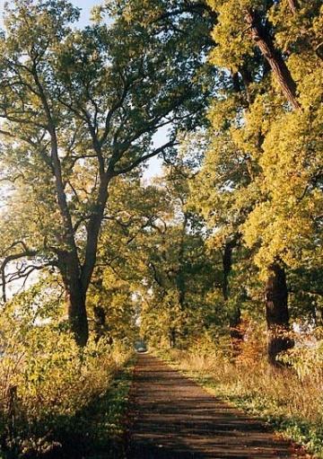 Eichenallee am Weser-Rad-Weg bei Corvey. Pflege 1999 durch Baumpflege-Oberweser.