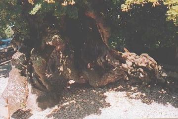 Linden-Naturdenkmal offener Stammfuß, wie auf Stützen. Umfang ca. 9 m - gepflegt 1998 durch Baumpflege-Oberweser.