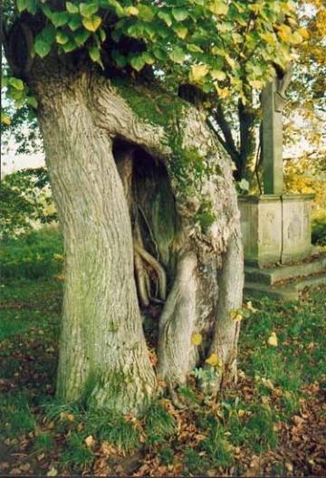 Adventivwurzel an einer alten Naturdenkmal-Linde. Gepflegt 1998 durch Baumpflege-Oberweser.