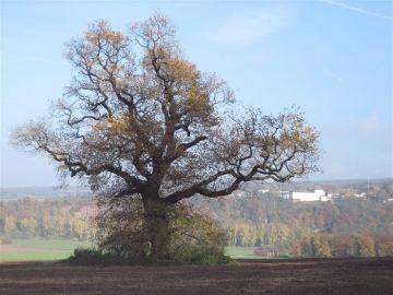Eiche am Steinberg im Herbstaspekt. Im Hintergrund Schloß Fürstenberg