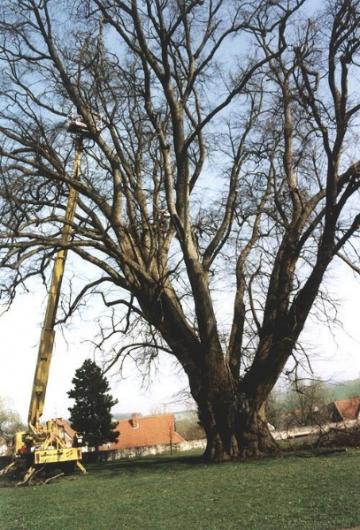 12-Apostel-Linde mit ca. 10 m Umfang. Von Baumpflege Oberweser eingekürzt. (Frühjahr 2000)
