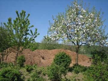 Apfelbaum an unserem Häckselguthaufen