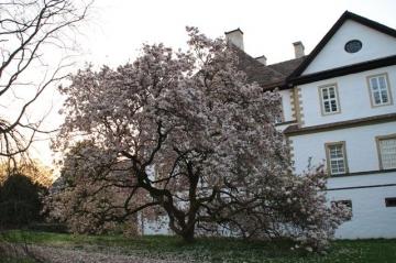 Magnolie vor Schloss Wehrden