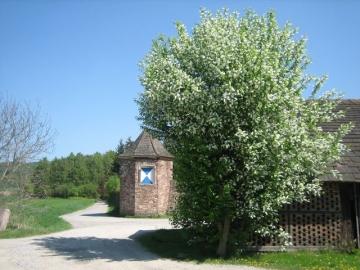 Traubenkirsche Betriebshof Baumpflege Oberweser