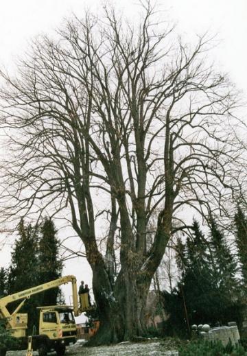 Kirchenlinde in Elbrinxen mit ca. 10 m Umfang. Von Baumpflege Oberweser gepflegt und gesichert. (2001)