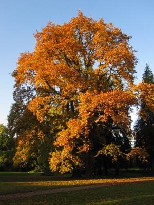 Lorbeereiche im Herbstaspekt