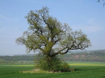Eiche am Steinberg Und wieder wird es Frühling. Die Eiche treibt zum etwa 200sten mal. (Mai/06)