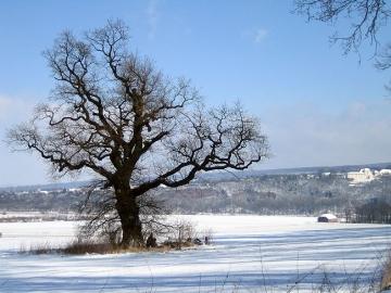Eiche am Steinberg Im Hintergrund befindet sich die Porzellanmanufaktur Fürstenberg. (März/06)