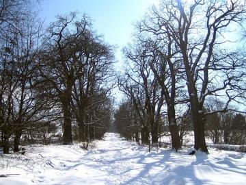 Eichenallee am Tierpark Neuhaus im Solling. (Februar/06)