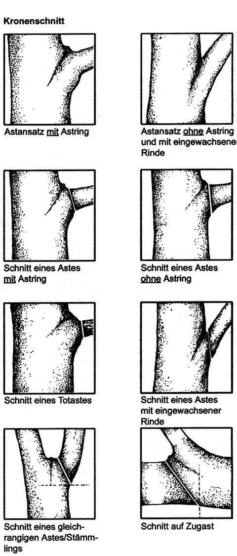 Schnitttechnik Baumpflege Oberweser